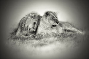 Lioness and son nuzzling in monochrome sepia