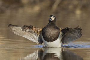 animals/long tailed duck drying wings