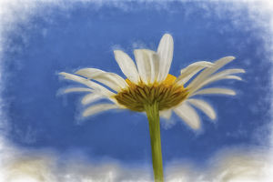 usa/kentucky/low angle view oxeye daisy flower