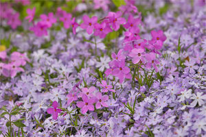 usa/low growing phlox chanticleer garden wayne