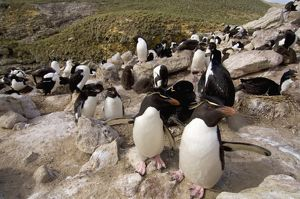 Macaroni penguins, black-browed albatross, and cormorants or blue-eyed shag, sharing