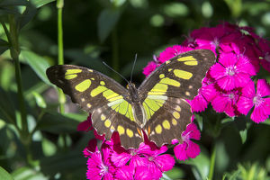 usa/south carolina/malachite butterfly pink dianthus garden usa