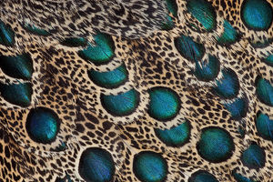 Malay Peacock Pheasant feathers with blue circles