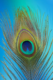 Male peacock display tail feathers