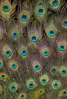 Male Tail feathers Peacock