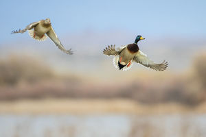 animals/mallard anas platyrhynchos ducks flying