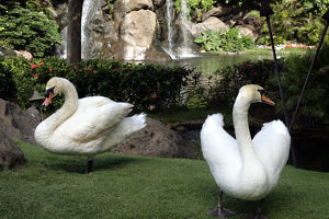 Maui, Hawaii, United States. White swans