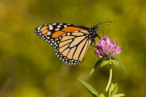 A monarch butterfly, Danaus plexippus, on clover in Grafton, Massachusetts