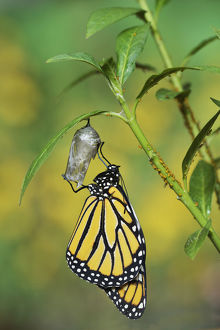 Monarch (Danaus plexippus), butterfly emerging from chrysalis on Tropical milkweed