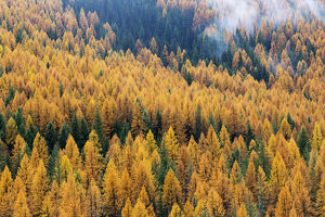 usa/montana lolo national forest golden larch trees