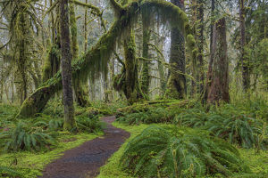 landscape/mossy lush forest maple glade trail quinault rain