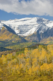 Mount Timpanogas snow capped, Aspens Trees in Fall Foliage, Wasatch Mountains, near Provo