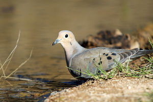 The mourning dove (Zenaida macroura) drinking at a small pond
