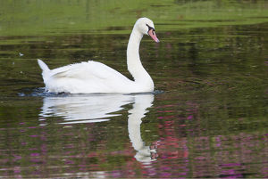 usa/south carolina/mute swan small pond reflection springtime middleton