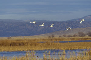 NA, USA, California, Klamath Basin Trumpeter swans in flight
