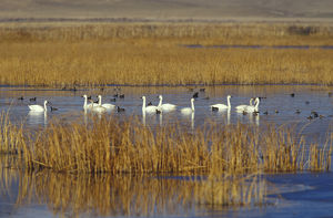 NA, USA, California, Klamath Basin Trumpeter swans, coots and ducks