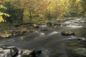 NA, USA, Tennessee, Great Smoky Mountains NP Fall colors along Little Pigeon River