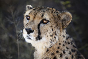 Namibia. Close up of a cheetah