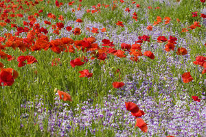North America,USA,Oregon,Willamette Valley,Poppies and Wildflowers