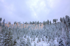 North America,USA,Washington,Blewett Pass, First Snow Autumn Western Larches