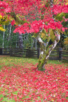 North America,USA,Washington,Newhalem,Autumn Color of the Vine Maples