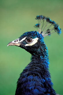 North America; USA; Washington Peacock Portrait