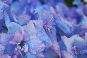 North America,USA,Washington,Sequim,Hydrangea Blooms