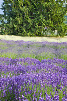 North America,USA,Washington,Sequim, Rows of Lavender