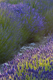 North America,USA,Washington,Sequim,Sequim Lavender