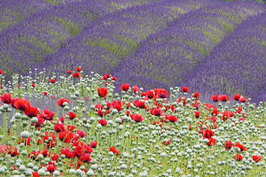 North America,USA,Washington,Sequim Lavender and Poppies