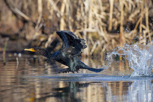North America, USA, Washington State, Double-crested Cormorant, flight, take-off