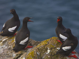 North America, USA, Washington State, Pigeon Guillemot, breeding plumage, roost, calling