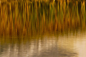 North America, USA, Wyoming, Yellowstone National Park. Reflections of reed in a pool in autumn