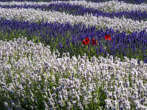 usa/north americausawashingtonsequimlavender fieldlavendar