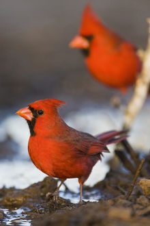 Northern Cardinal (Cardinalis cardinalis) males at pond to drink, Starr Co., Texas, USA