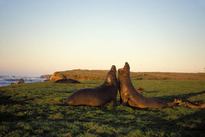 northern elephant seal, Mirounga angustirostris, two bulls fight in a field at sunrise