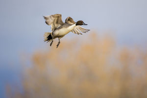 animals/northern pintail anas acuta duck landing
