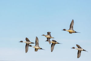 animals/northern pintail ducks courtship flight freezeout