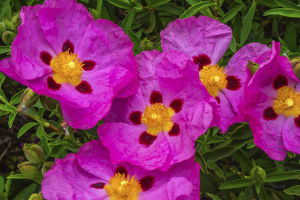 floral botanical/orchid pink rockroses green leaves close macro