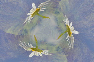 usa/kentucky/oxeye daisy composited textured background