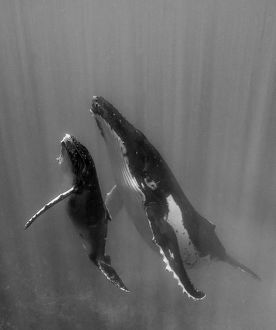 Pacific Islands, Kingdom of Tonga. Mother and Calf, Humpback Whales (Megaptera