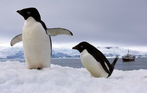 Pair Adelie penguins Antarctica