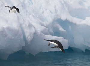A pair of adelie penguins leap off the edge of the iceberg they were resting
