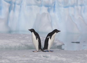 A pair of adelie penguins loaf on sea ice near their colony on Devil Island