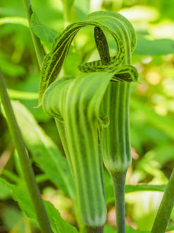 usa/pair jack pulpit plants arisaema triphyllum