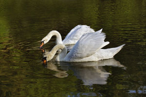 Pair of Mute Swans feeding, Louisville, Kentucky (Cygnus olor)