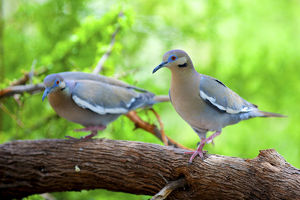 The pair of white-winged dove's (Zenaida asiatica) perched on a branch