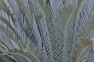 usa/palm leaves silver plant display longwood gardens