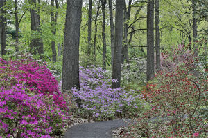 usa/path azaleas bloom jenkins arboretum garden devon