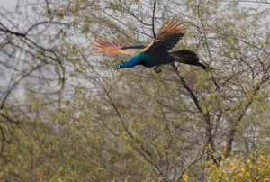 Peacock in flight. Keoladeo Ghana National Park. Unesco biosphere reserve. Rajasthan